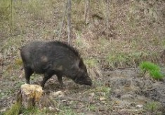 Hymn to the Wild Boar