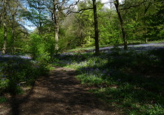 bluebell woods in hertfordshire