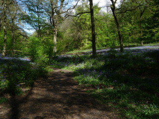 the Bluebell Wods in Hertfordshire