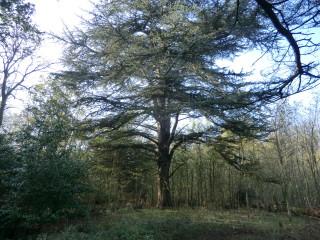 A fine Bayfordbury cedar | Terry Askew