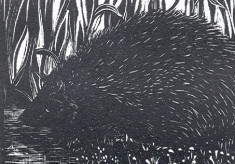 Was Mrs Tiggy-Winkle a Hertfordshire Hedgehog?