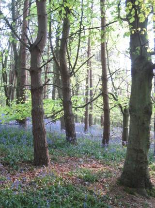 Hitchwood ( Bluebell woods)