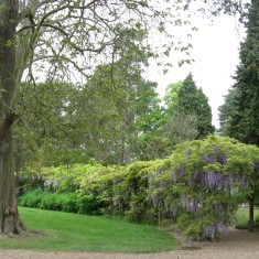 The group of three Indian Bean trees (Catalpa) to the left of the Wisteria Walk represents the Sun | Fiona MacDonald