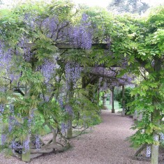 The Japonese Garden pilgramage begins at the stunning Wisteria Walk | Fiona MacDonald