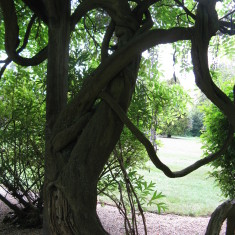 The gnarly twisting ancient trunk of one of the many wisteria trees | Fiona MacDonald