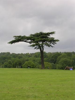 The Cedar tree Cassiobury Park | Vanessa Lacey