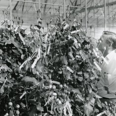 Jack Harkness in the rose breeding glass house, 1969 | First Garden City Heritage Museum
