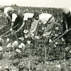 Workers at Harkness Roses nursery c.1948 | First Garden City Heritage Museum