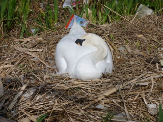 A femail mute swan (pen) incubates her clutch of four eggs. They all hatched successfully; however, it's sad to see the amount of litter some residents and visitors to the town have left and continue to throw on the ground. | © Richard Brockbank 2010