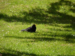 A blackbird comes to a momentary standstill in the Town Park. | © Richard Brockbank 2010