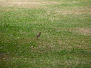 This may be a thrush just by the Castle mound. | © Richard Brockbank 2010