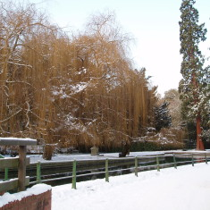 Weeping Willow   I Fisher