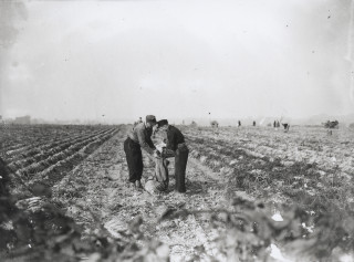 Picking up potatoes near Harpenden | Eric Brandreth
