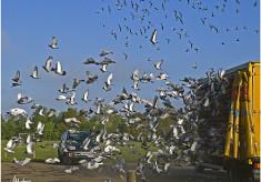 Pigeon Liberation
