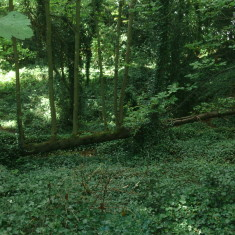 Woodland beside the New Rver at St Margarets | Nicholas Blatchley