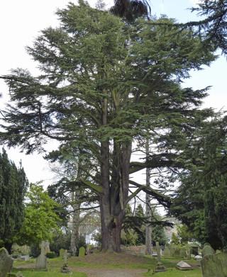 Huge Cedar tree in cemetery. | © Richard Brockbank 2010