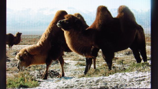 Camels wearing this winter's look!